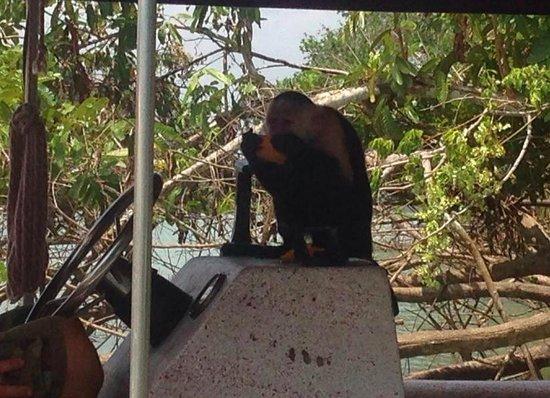 Monkey Island : a white-faced monkey crushing some mango