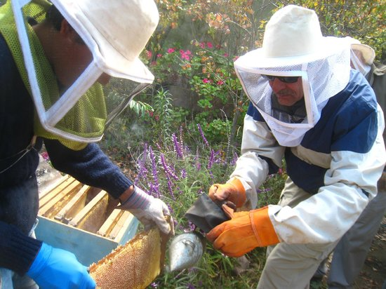 La Quinta Eco Hotel By Jabar Hoteles: Edwin and a guest harvest some honey from the bees on the hotel property.