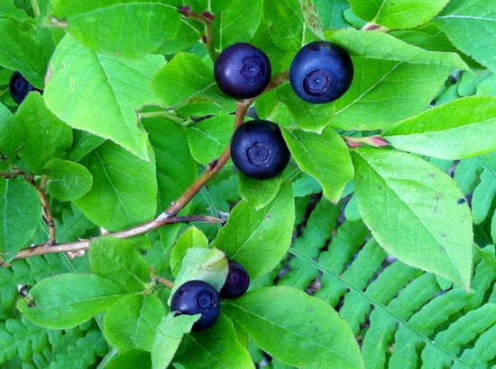 Summit Meadow Cabins: Huckleberries picked at our cabins in August
