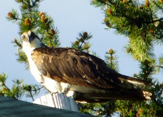 Summit Meadow Cabins: Osprey checking out Summit Meadow
