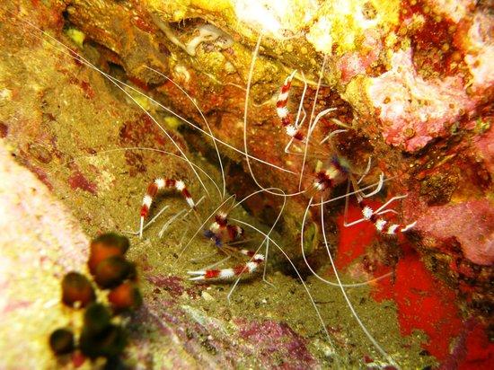 Local Dive Thailand: gebänderte Scherengarnelen
