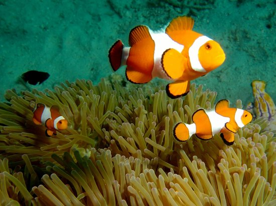 Local Dive Thailand: Clownfisch Familie