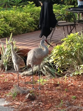 Star Island Resort and Club: Sandhill cranes