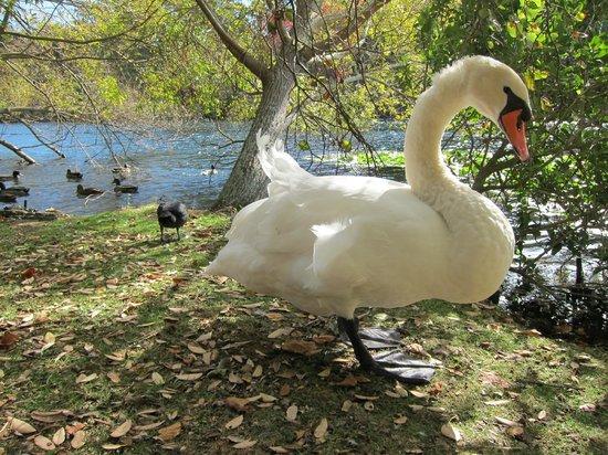 Virginia Lake: Very Tame swan