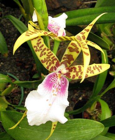 Bason Botanic Gardens : Orchid - in the hot house