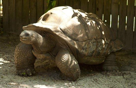 Sarasota Jungle Gardens : Roscoe - Aldabra Tortoise