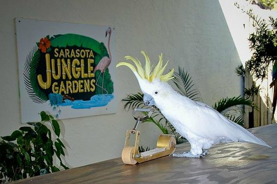 Frosty The Cockatoo 77 Years Old Picture Of Sarasota Jungle Gardens Sarasota Tripadvisor