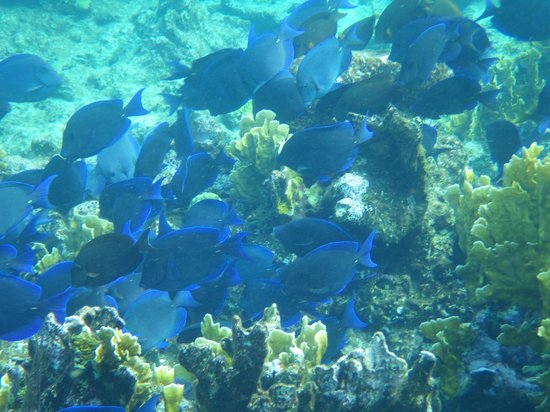 The Meridian Club Turks & Caicos: School of blue tang in a feeding frenzy