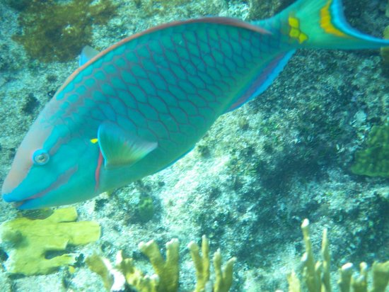 The Meridian Club Turks & Caicos : Parrot fish are always gorgeous as they munch coral