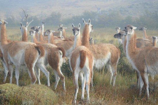 Awasi Patagonia - Relais & Chateaux: Grupo de Guanacos camino a Laguna Sarmiento.