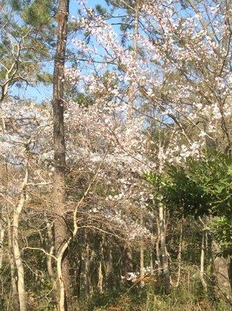 Mihwangsa Temple: bluehene baeume im april