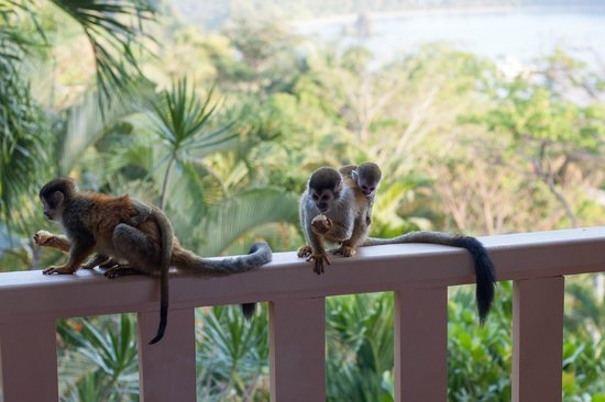 Hotel Costa Verde: Monkeys on the balcony with ocean background