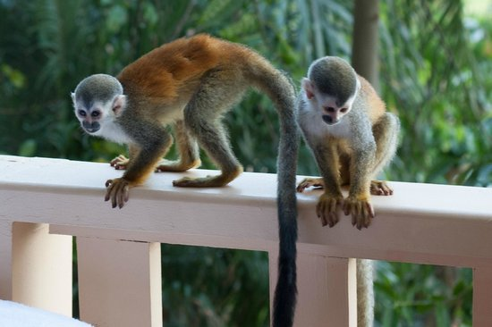 Hotel Costa Verde: More monkeys on the balcony!