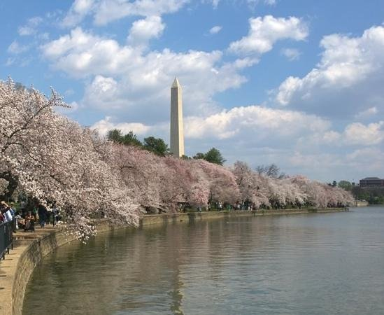 DC by Foot : Washington Monument and cherry blssoms
