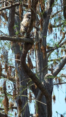 Okefenokee National Wildlife Refuge : Barred Owls