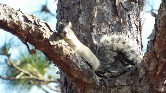 Okefenokee National Wildlife Refuge : Big Cypress Fox Squirrel
