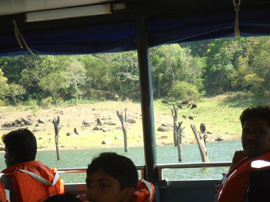 Periyar Lake : Herd of gaurs