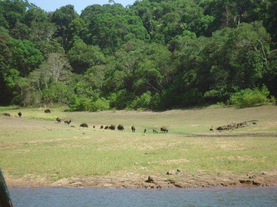 Periyar Lake: Herd of gaurs