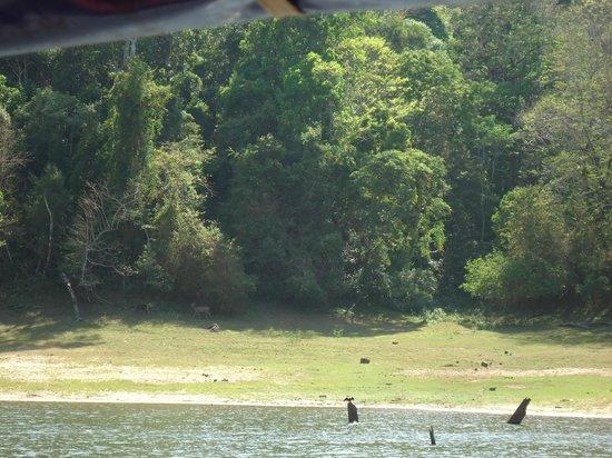 Periyar Lake: Deer