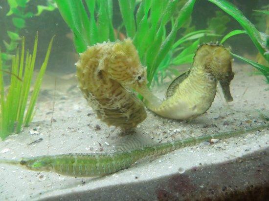 Aquarium At Rockport Harbor - Seahorses -Rockport,TX