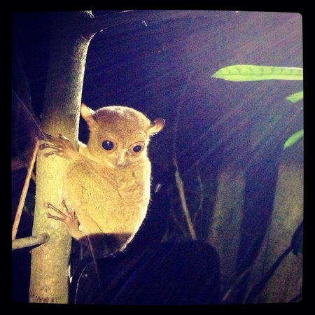 Nature Lodge Kinabatangan: Night jungle walk- saw this little guy! A tarsier