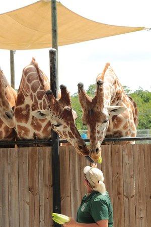 Naples Zoo at Caribbean Gardens : Jirafas hambrientas...