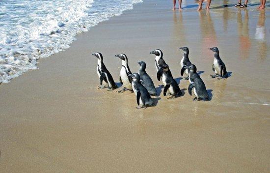 Cape St Francis Resort : Penguin release
