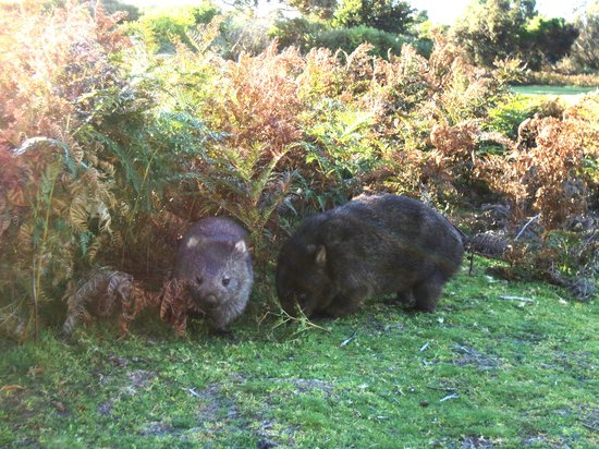 Roosters Rest: Wombats at Narawntapu National Park