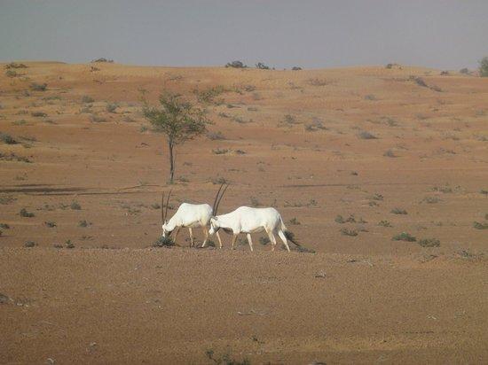 Al Maha, A Luxury Collection Desert Resort & Spa : Oryx