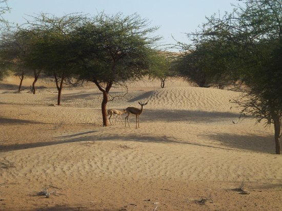 Al Maha, A Luxury Collection Desert Resort & Spa: gazelles