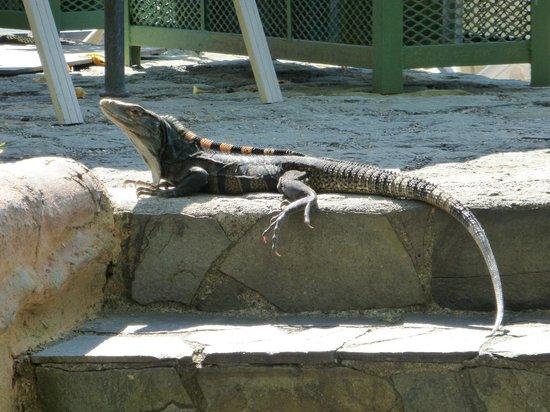 Hotel Si Como No: Pet Iguana