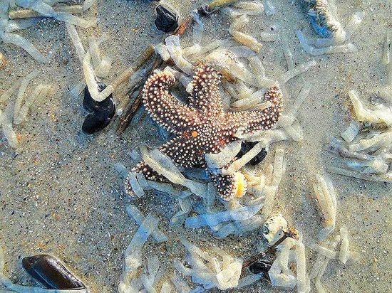 Fort Fisher State Historic Site : starfish on beach in front of fort