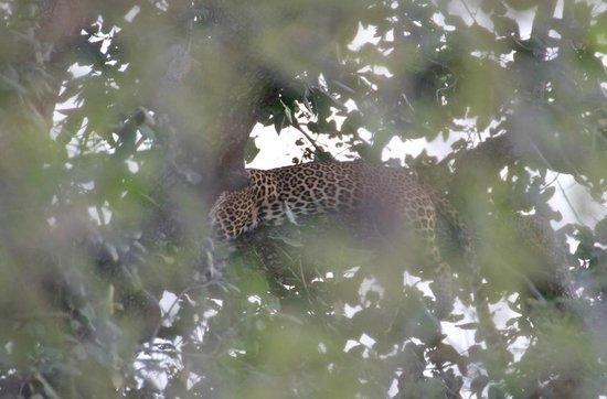 Tiger Den Resort: Leopard