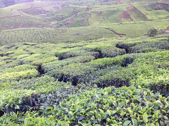 Carnival Tours & Travels: the tea field
