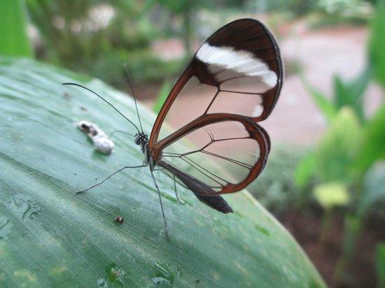 Butterfly Park of Benalmadena : Papillon trasparent