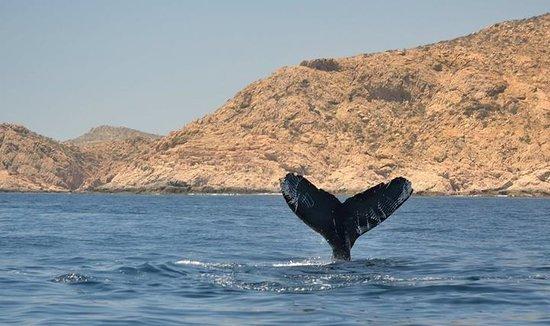 Cabo Expeditions : Croisière aux baleines