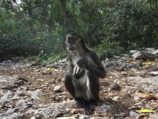 Tulum Monkey Sanctuary: Adult Male Spider Monkey