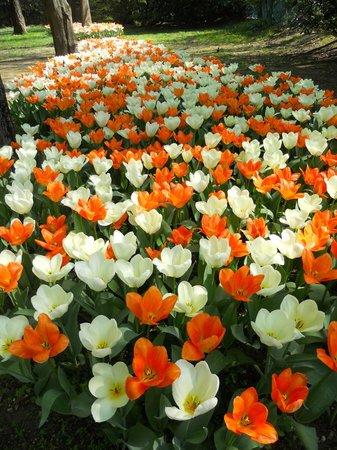 Valeggio Sul Mincio, Italia: Fioritura dei tulipani