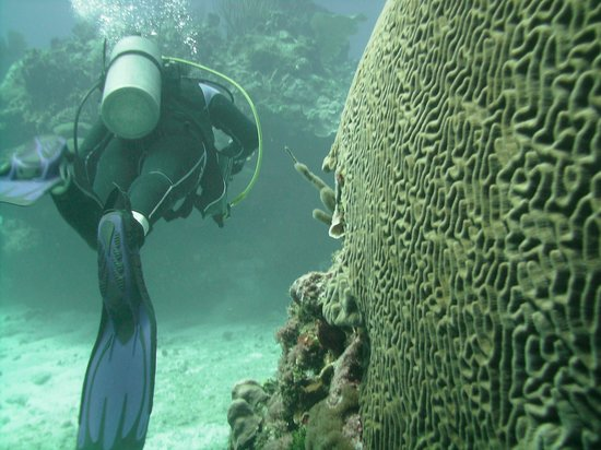 Compass Point Dive Resort : Wall of brain coral