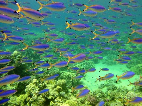 Jaz Mirabel Beach: coral fish