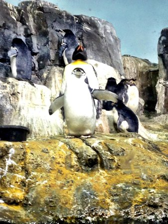 Central Park Zoo: Chinstrap Penguin