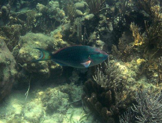 Pirate's Point Adventure Tours: parrot fish