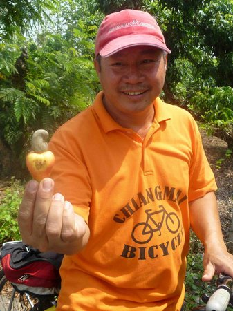 Chiang Mai Bicycle : Picking a cashew nut