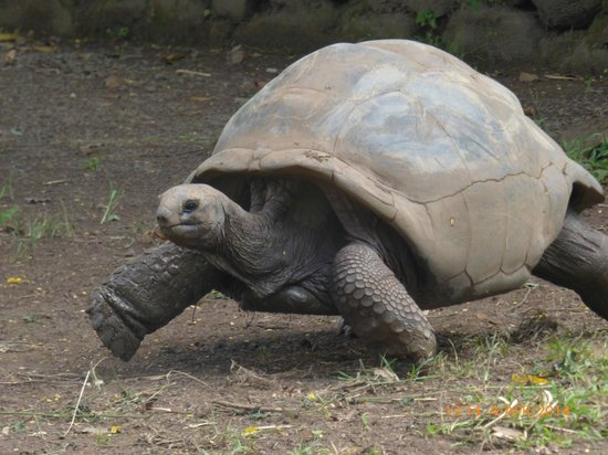Seven Colored Earths: giant tortoises at chamarel