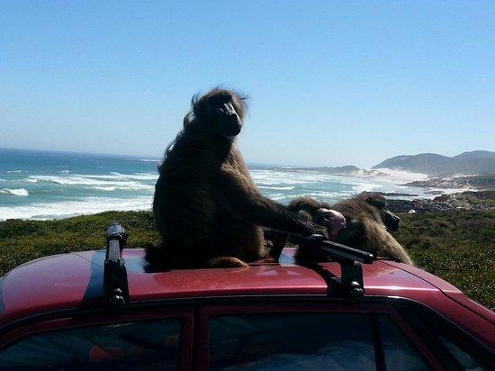 Cape Point: Non dategli da mangiare