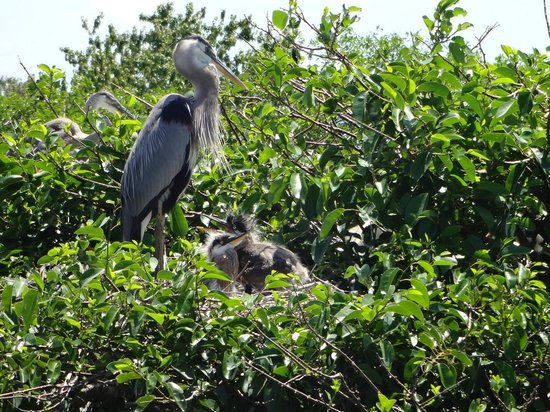 Wakodahatchee Wetlands : Mother Blue Heron and babies