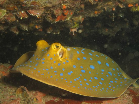 New Way Diving: Blue Spotted Stingray