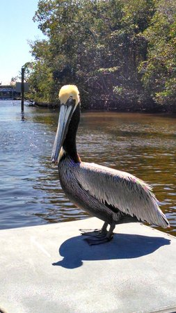 Captain Jack's Airboat Tours: friendly pelicans came by for a close-up