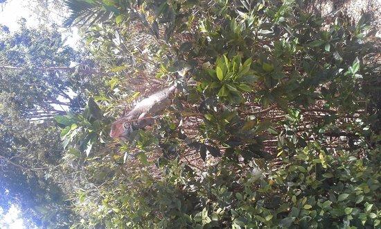 Barcelo Tambor: Iguanas en el hotel