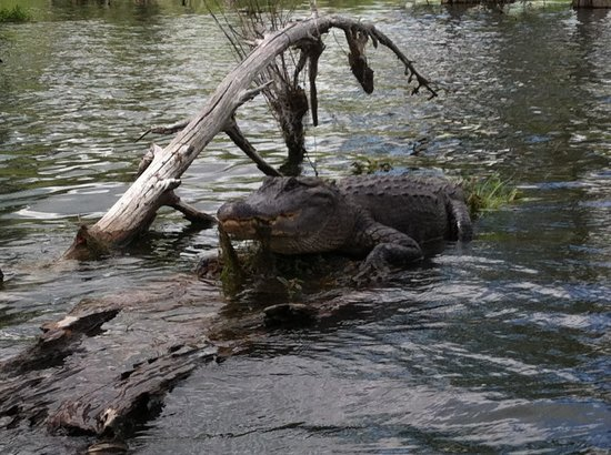 Cajun Country Swamp Tours : This guy was just hangin out